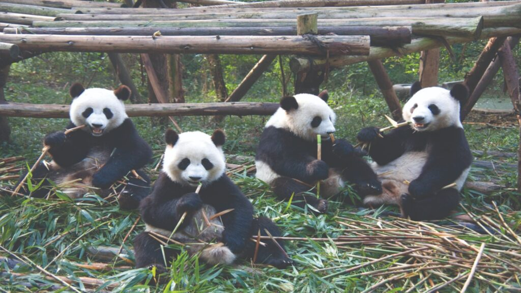 Play with a Giant Panda